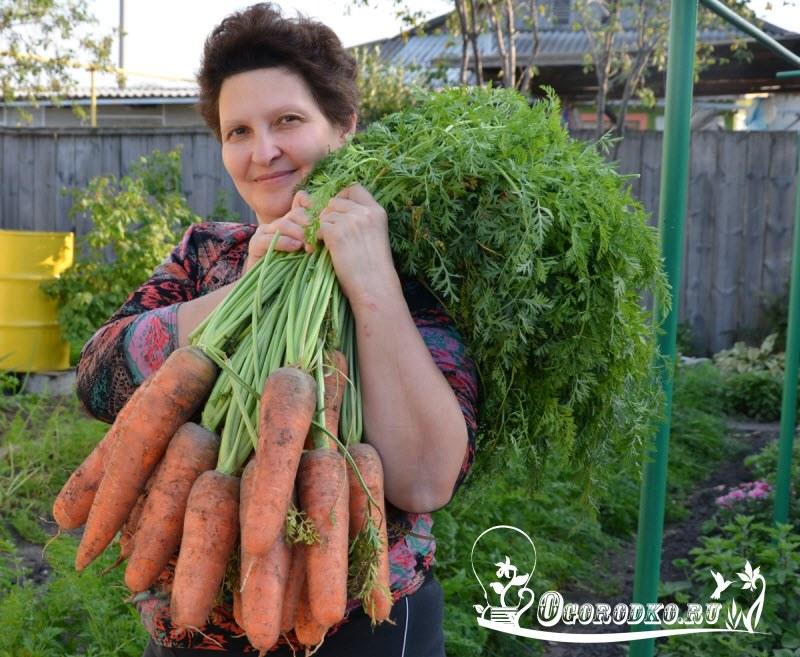 сорта моркови для посева под зиму