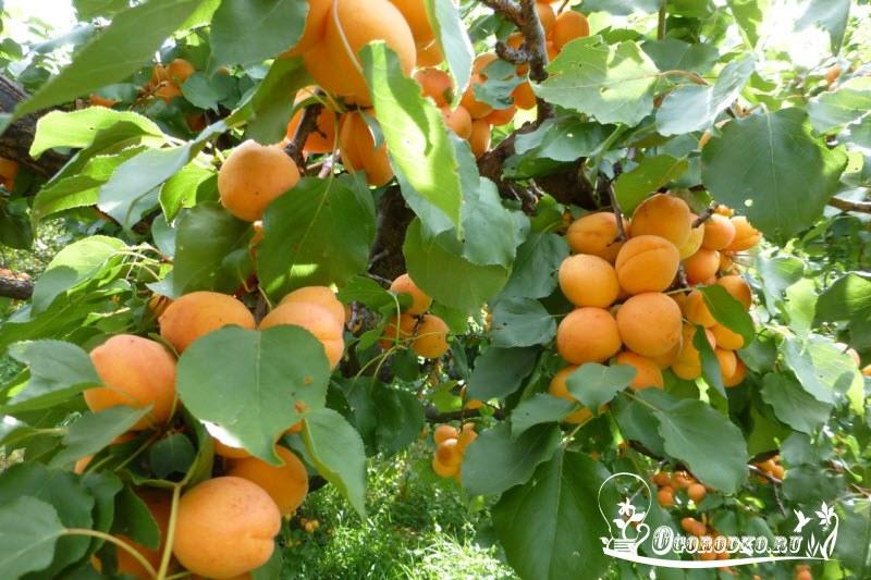 Посадка абрикоса саженцем.