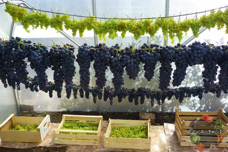 как сохранить виноград