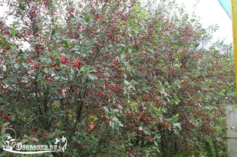 технология посадки вишни