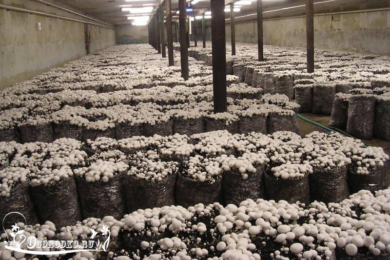 выращивание шампиньонов в полиэтиленовых мешках