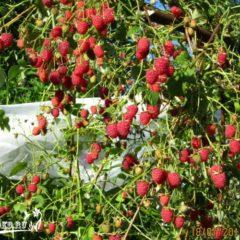 Как выращивать малину