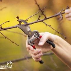 Обрезка вишни, опыт профессионалов