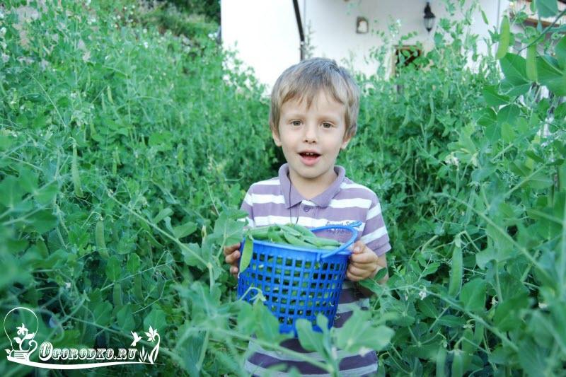 сбор урожая зеленого горошка