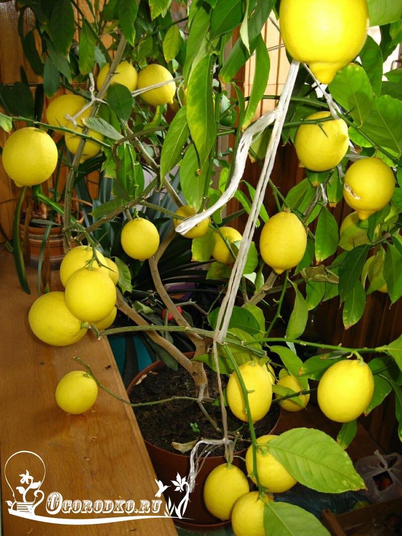 уход за лимоном, как правильно ухаживать за лимоном