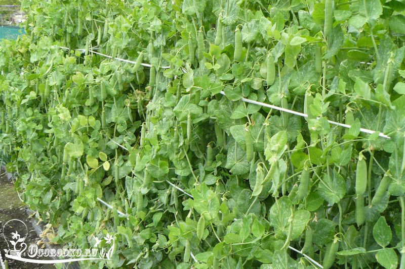 выращивание гороха на даче, советы и рекомендации