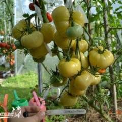как ухаживать за помидорами, советы и рекомендации
