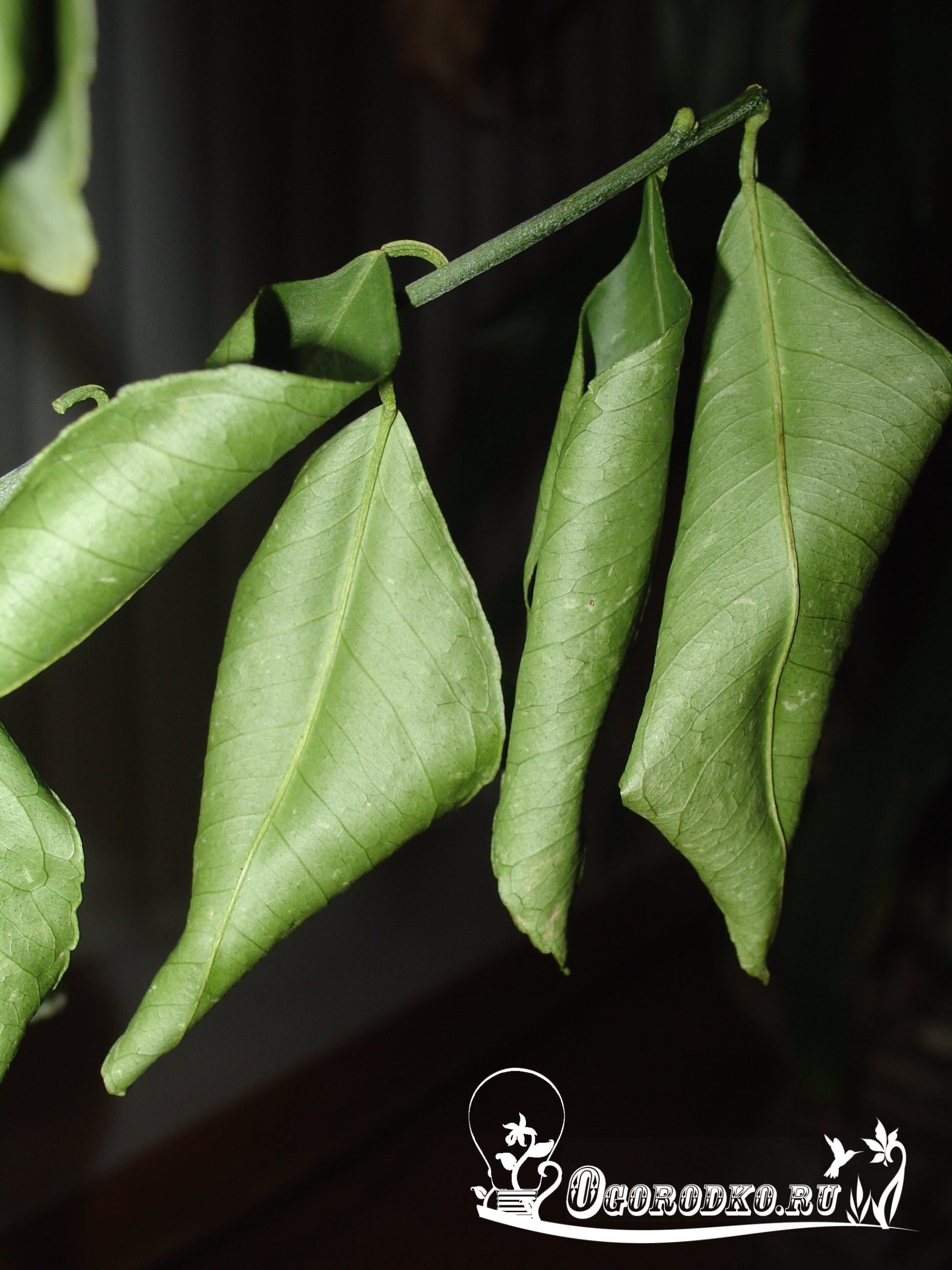 почему у лимона скручиваются листья