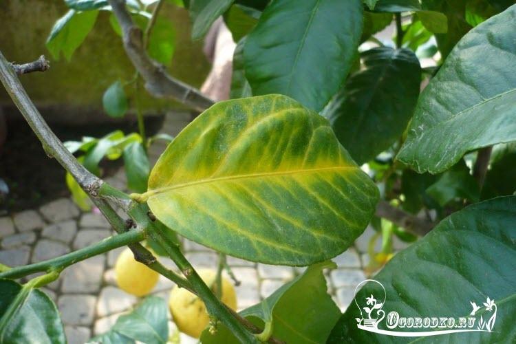 У лимона опадают листья что делать, причины, способы борьбы с недугом