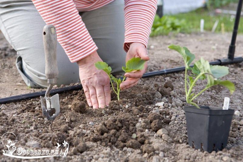 высадка рассады брокколи в открытый грунт