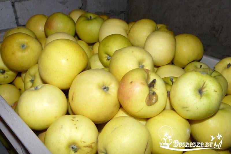 яблоки славянка
