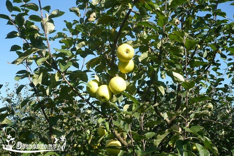 яблоня сорт славянка