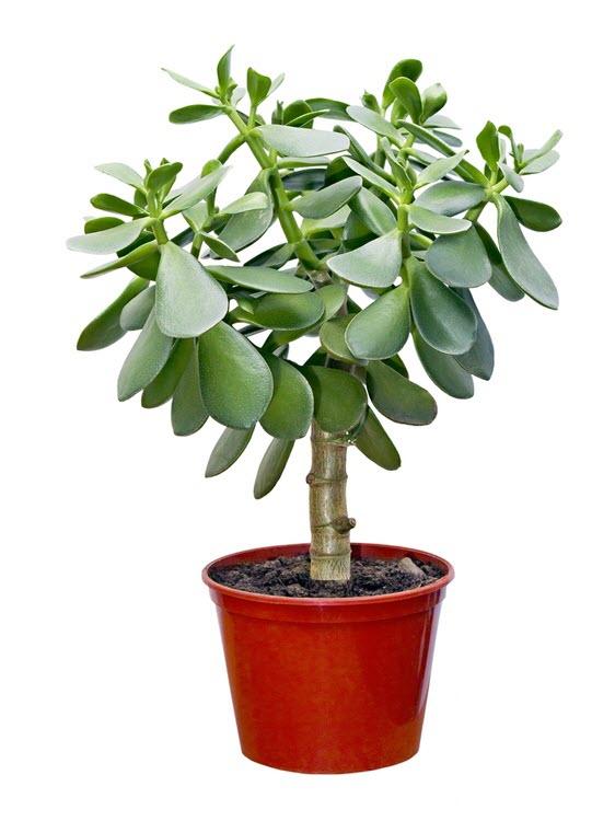 как поливать денежное дерево