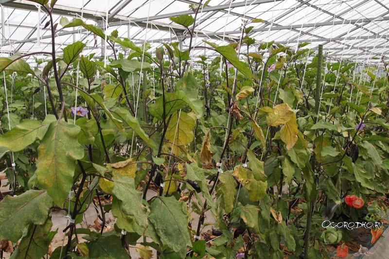 желтые листья баклажанов, почему желтеют листья?