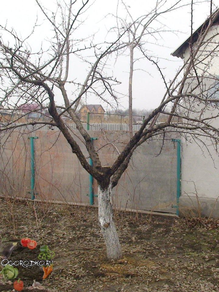 обрезка абрикоса ПОСЛЕ