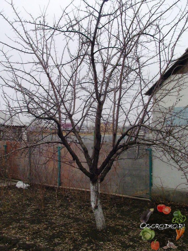 обрезка абрикоса ДО