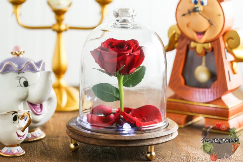 "роза ""Красавица и чудовище"""