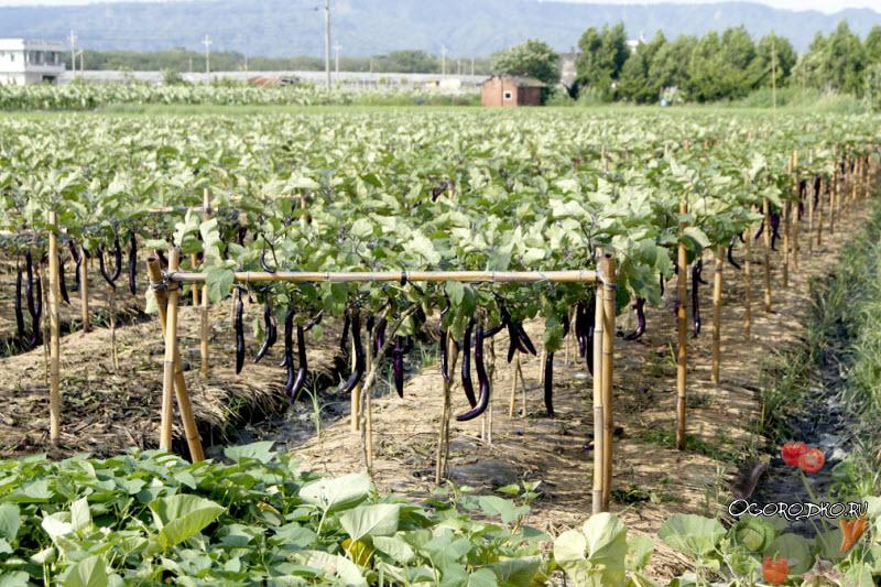 способ выращивания баклажан в Китае