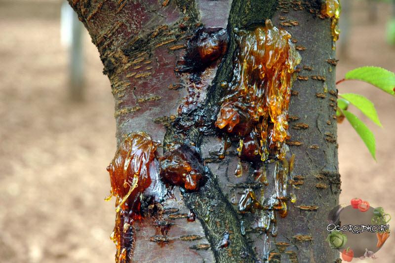 болезни вишни - Камедетечение