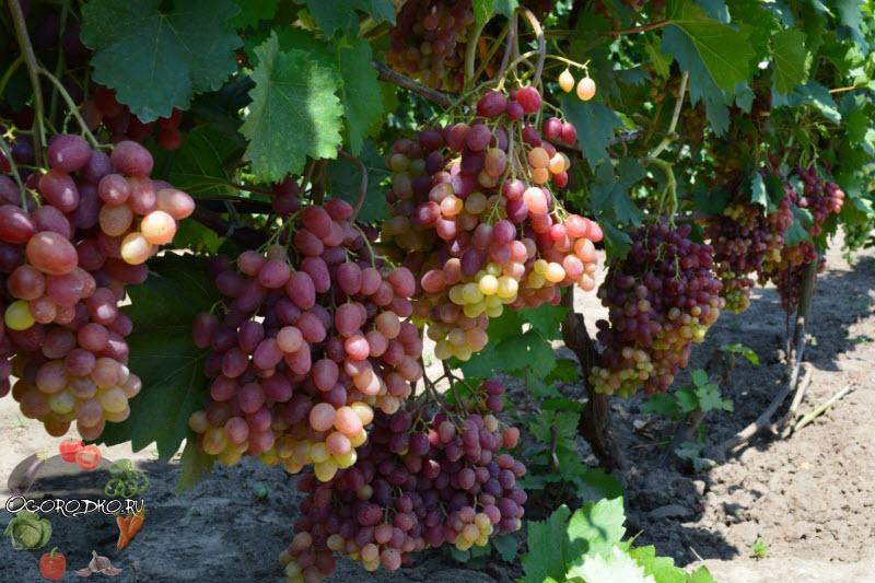 Виноград Велес (Veles), подробное описание сорта и техника выращивания