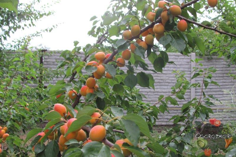 абрикос Краснощекий, урожайность