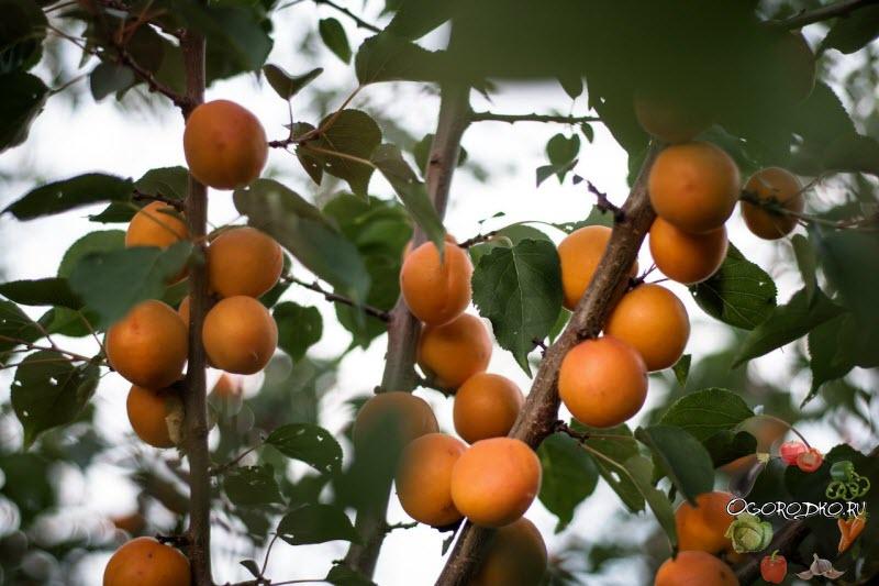 абрикос сорт Горный Абакан