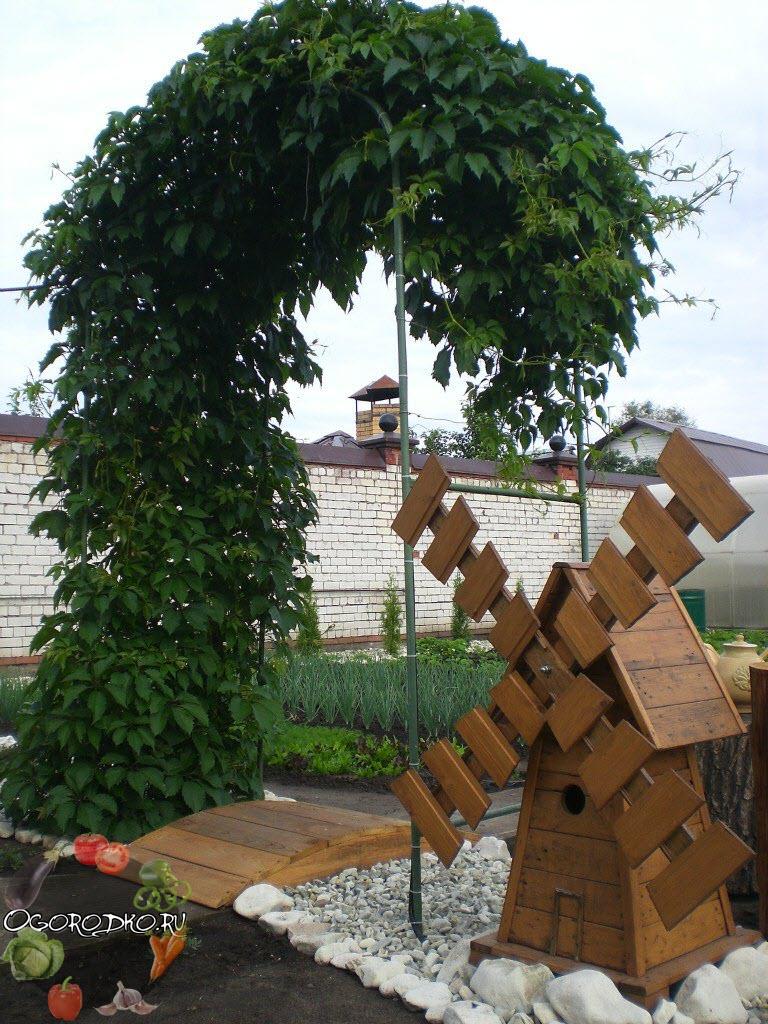 девичий виноград на арке