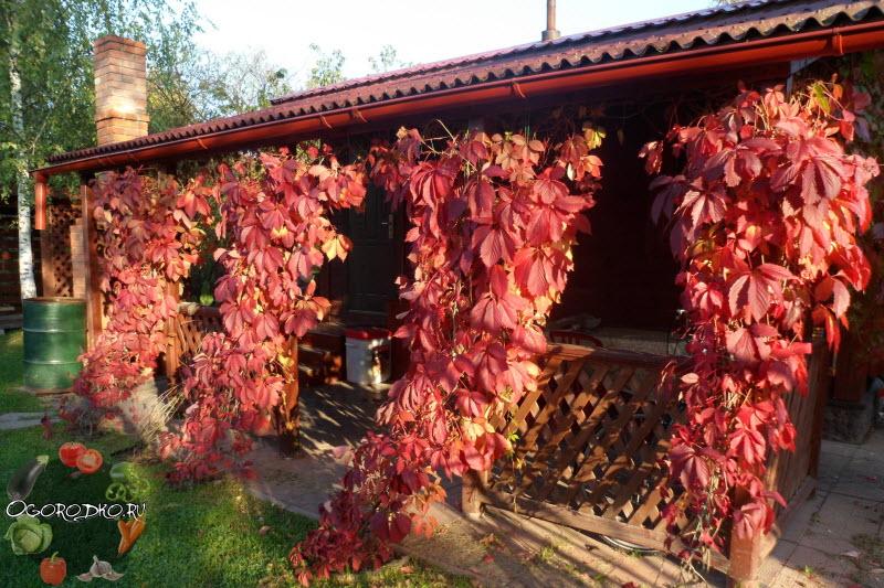 девичий виноград, посадка и уход, советы и рекомендации