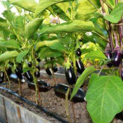 формирование баклажанов для большего урожая