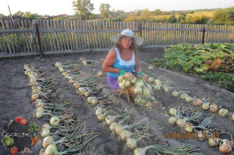 лук эксибишен - рекомендации по выращиванию