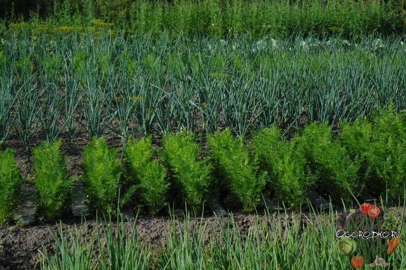 совместные посадки: лук и морковь