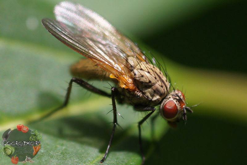 луковая муха, главный вредитель лука