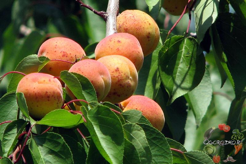 плоды абрикоса краснощекого