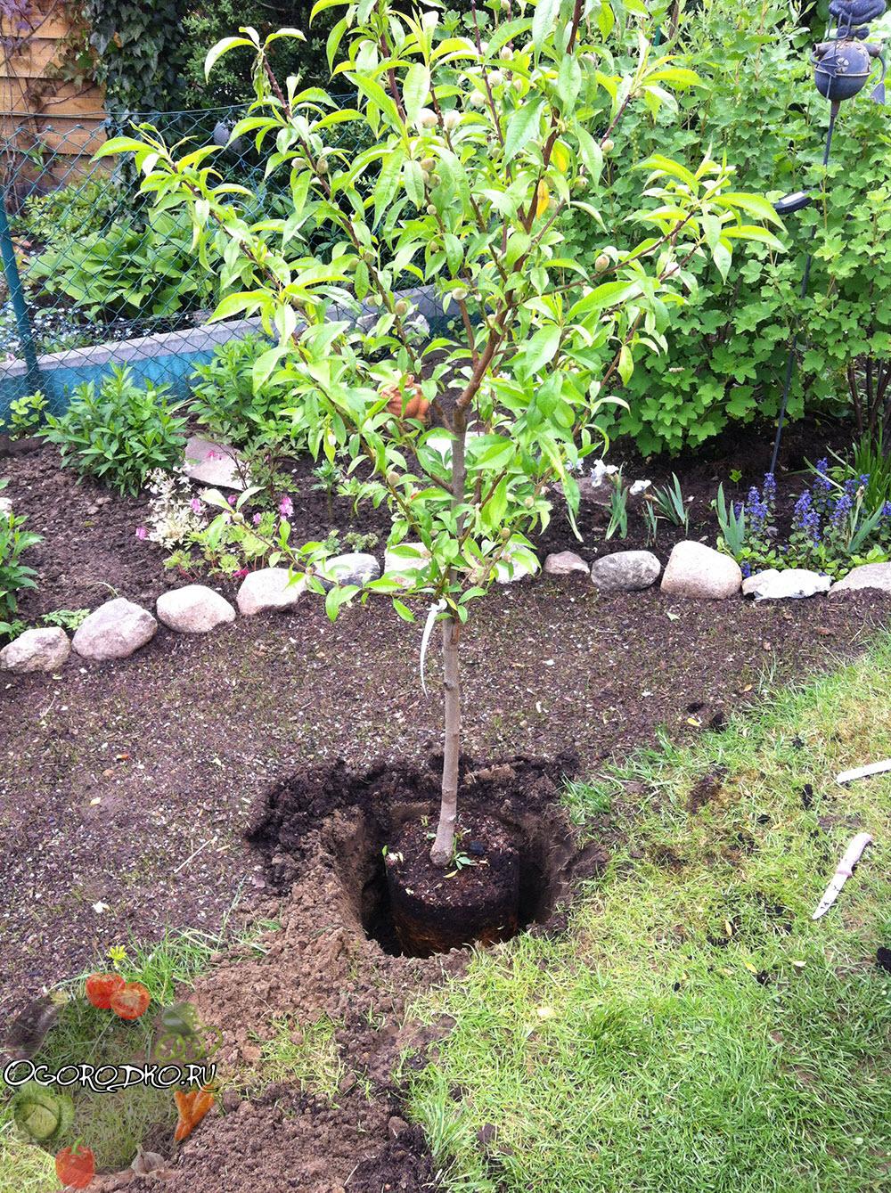 посадка персика с закрытой корневой системой весной