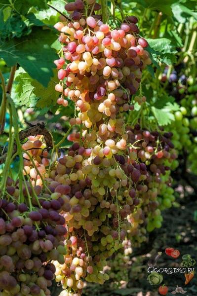 советы для винограда Валес