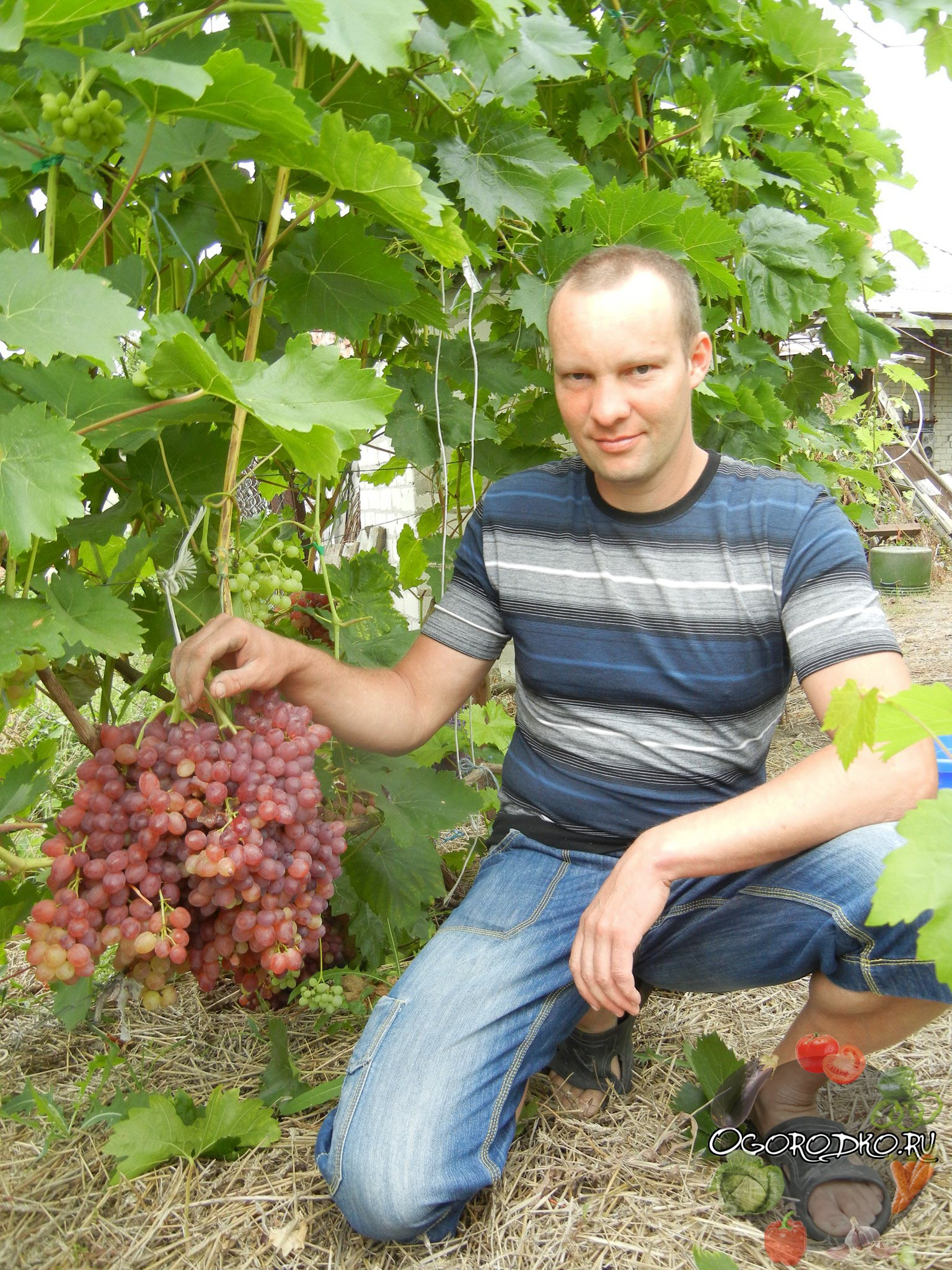 Виноград сорта Велес - как правильно возделывать