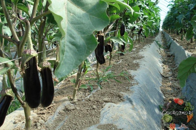 выращивание баклажан по технологии