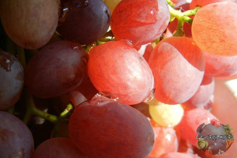 ягоды винограда Велес, крупным планом