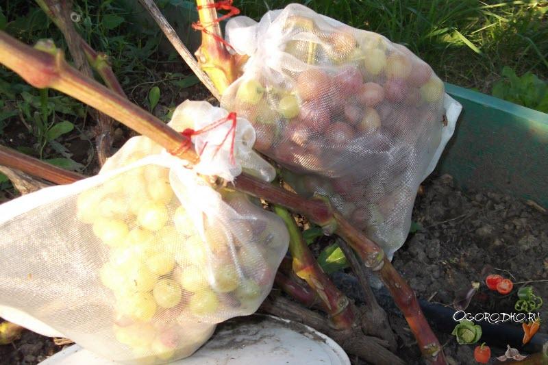 защита винограда велес