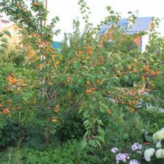 Абрикос Лель - вся необходимая информация о выращивании