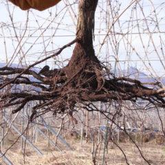 пересадка винограда весной на новое место