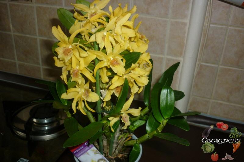 Дендробиум нобиле, фото цветка, рекомендации по выращиванию