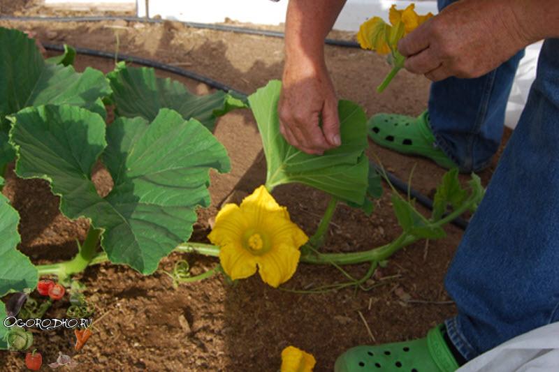 формирование куста тыквы