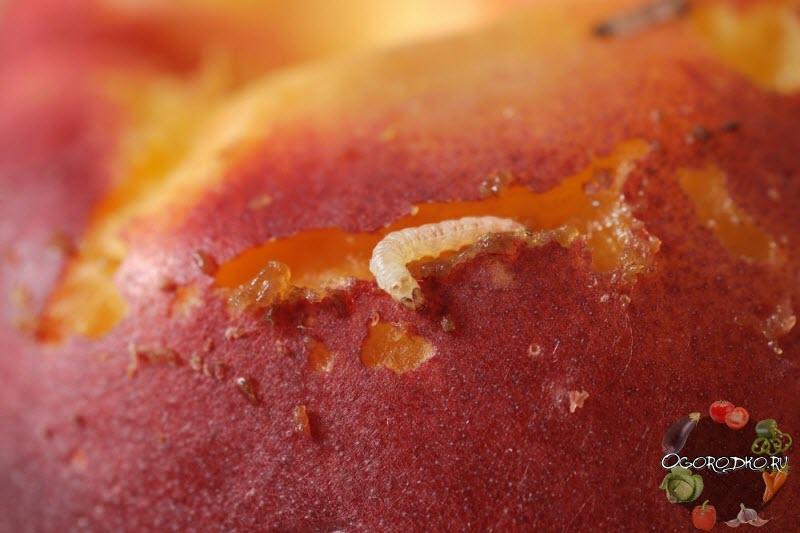 плодожорка на абрикосе, как избавиться?
