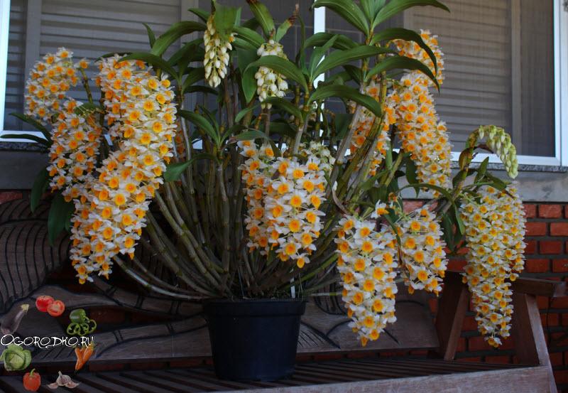 Цветение орхидеи Дендробиум