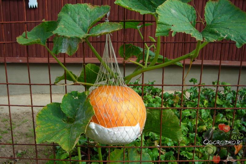 выращивание тыквы у забора