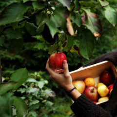 как сохранить яблоки