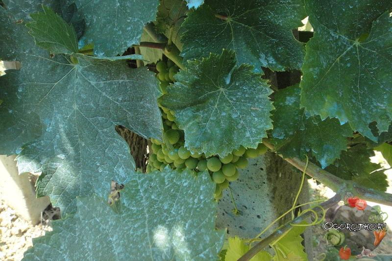 медный купорос для винограда