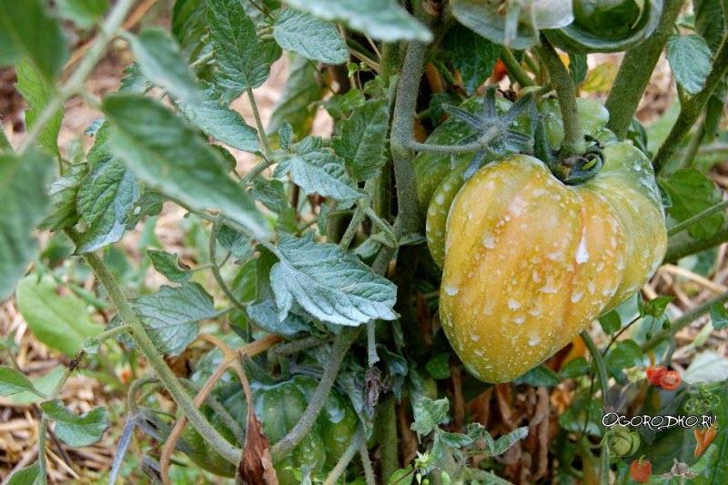 обработка помидор медный купоросом