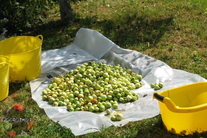 осенний сбор яблок для хранения